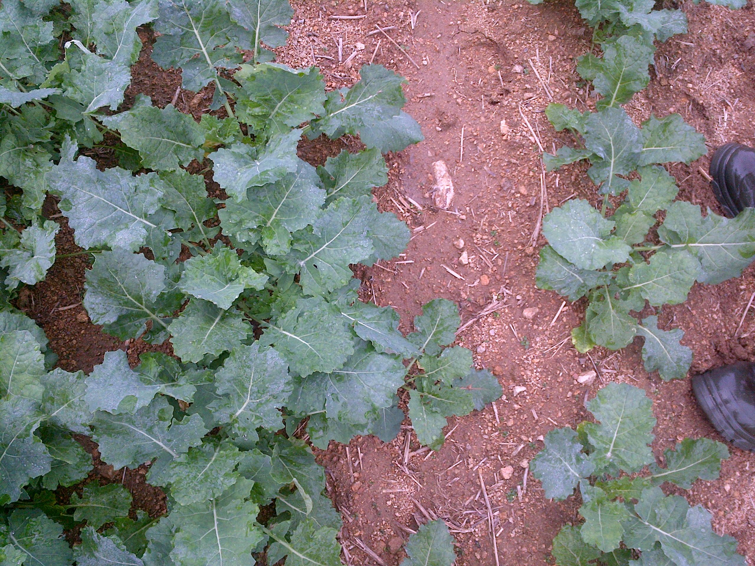 Foto 16.9.2014 Silné řepky na těžších půdách, s přípravou 30 cm prokypření před setím,  vpravo pro kontrolu velikosti špičky holinek.